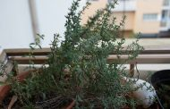 Segurelha     Satureia hortensis