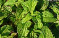 Hortelã     Mentha viridis