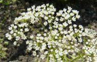 Sementes de Anis (erva doce)     Pimpinella anisum