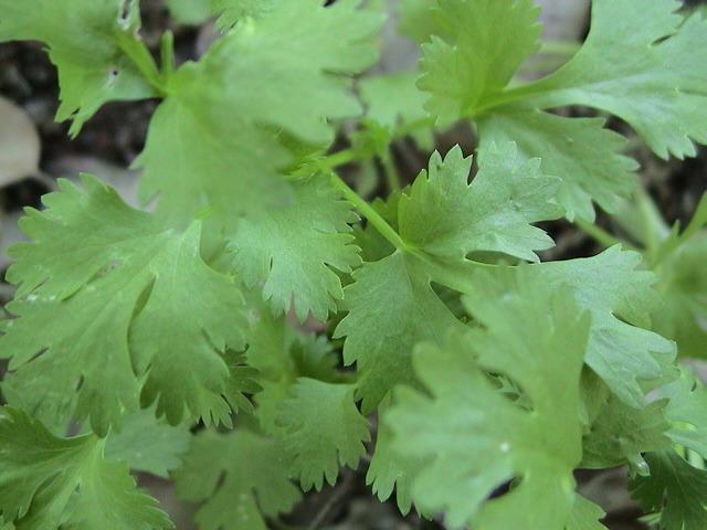 Coentros     Coriandrum sativum