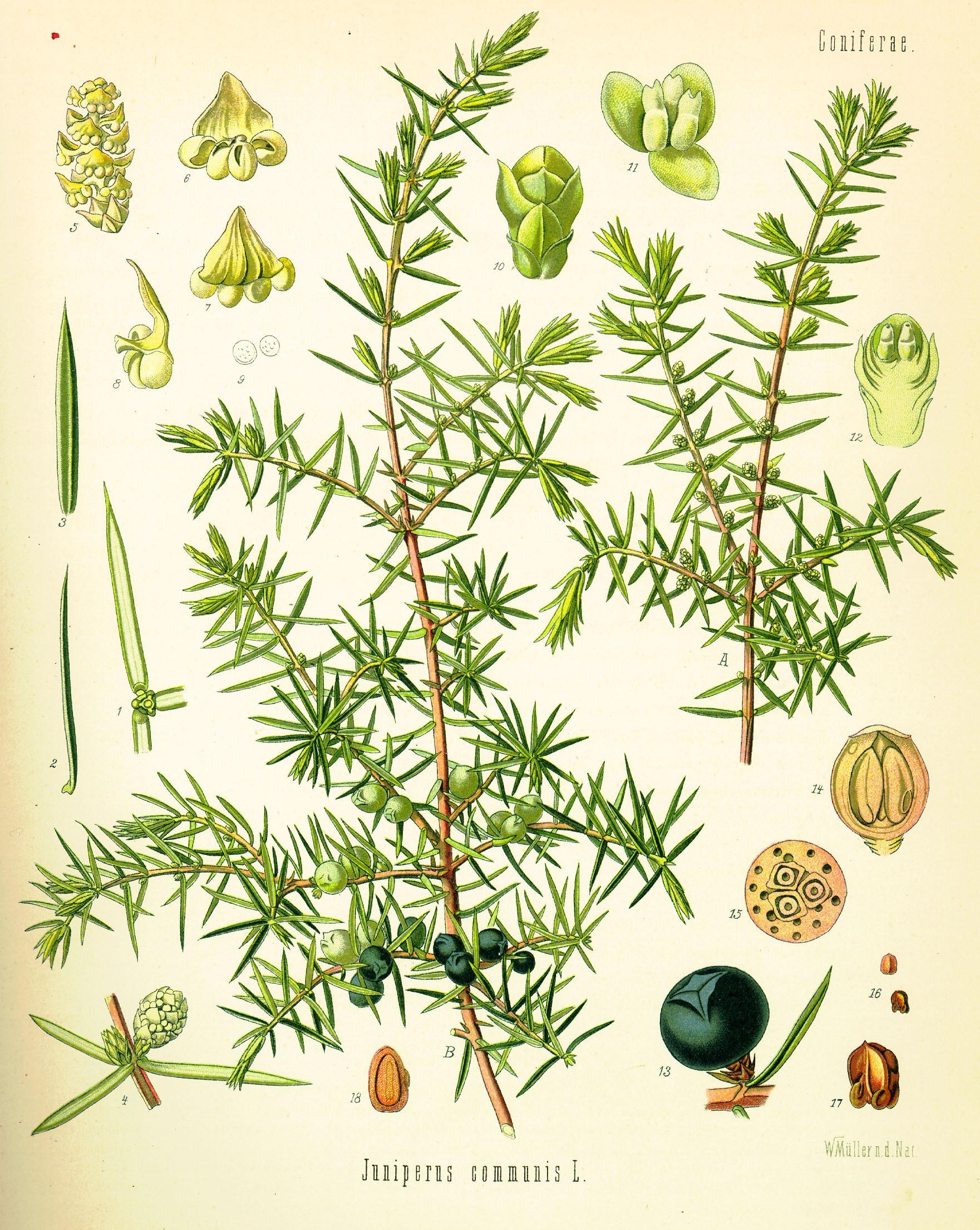 Zimbro Juniperus communis