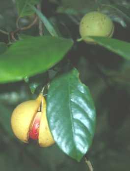 Noz-moscada     Myristica fragans