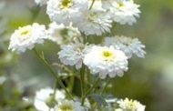 Monsenhor ( Chrysanthemum parthenium )