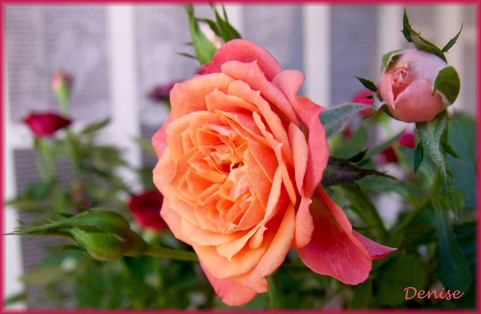 Rosa ( Rosa spp. )