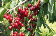 Cereja ( Prunus avium )