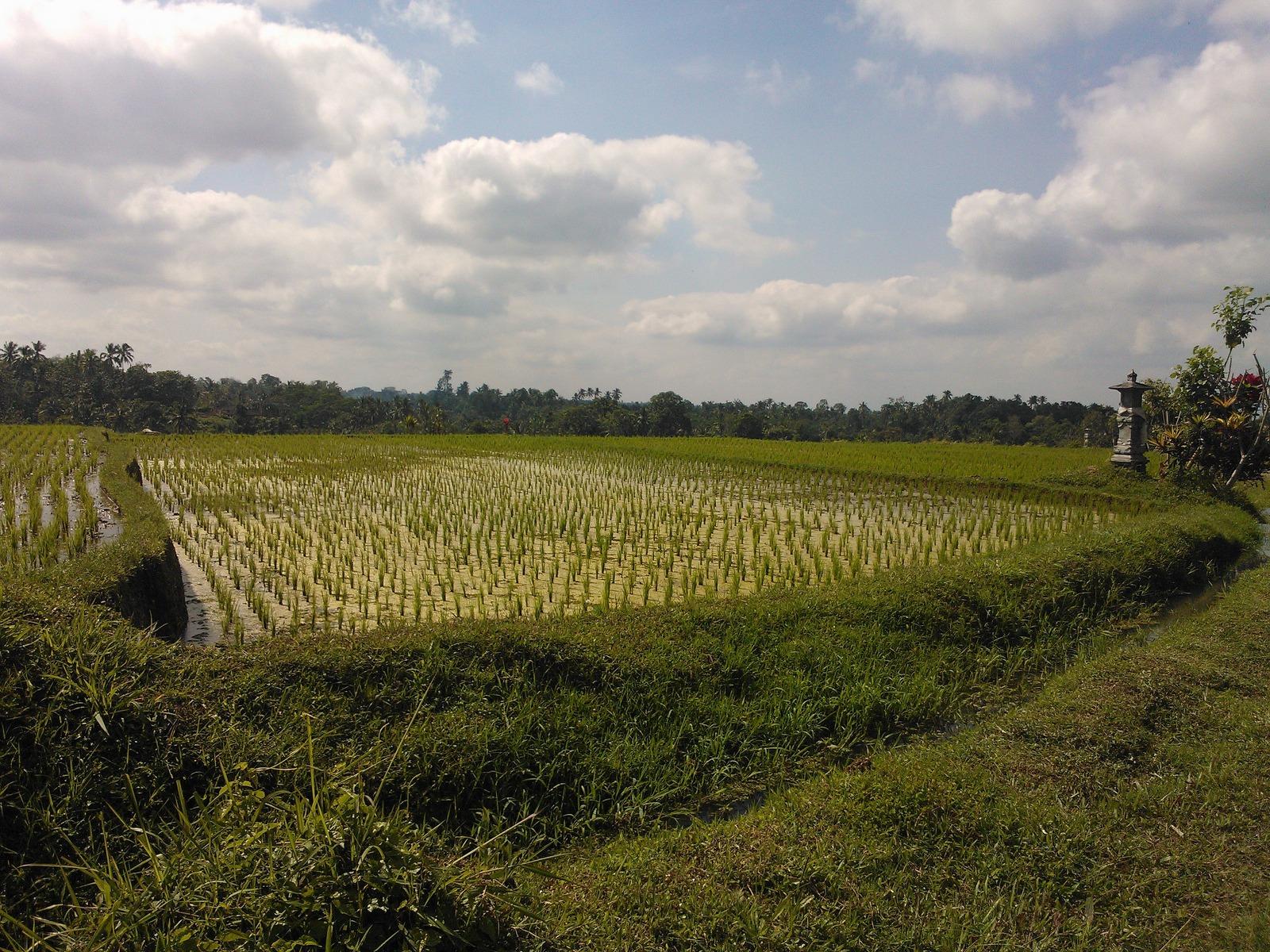 Arroz à Indonésia