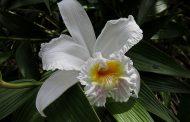 Orquídea ( Orchis spp. )