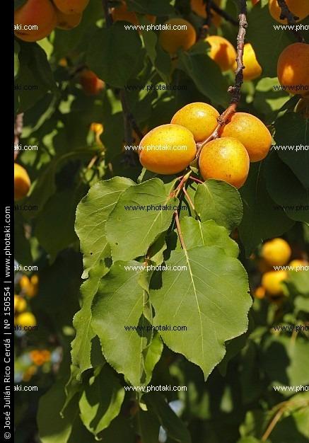 Damasco ( Prunus armeniaca )
