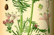 Valeriana ( Valeriana officinalis )