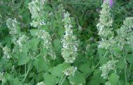 Mentrasto ( Nepeta cataria )