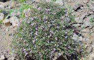 Tomilho ( Thymus vulgaris )