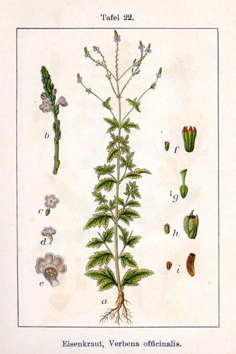 Verbena ( Verbena officinalis )