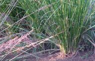 Vetiver ( Vetiveria zizanioides )